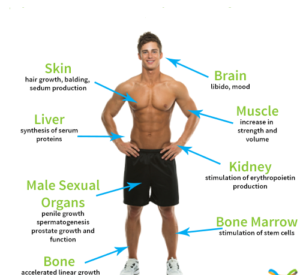 role of testosterone in male